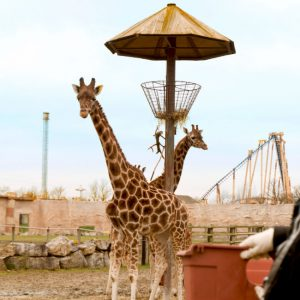 giraffe encounter flamingo land x - Prezola Wedding Gifts: Experiences, Days Out + Togetherness